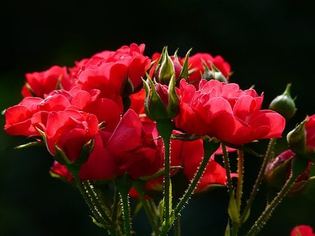 Red Roses, Rose, Roses, Back Light, Flower, Blossom
