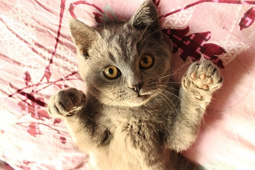 Cat, British Short, Gray, Pets, Funny, Cute, Paw