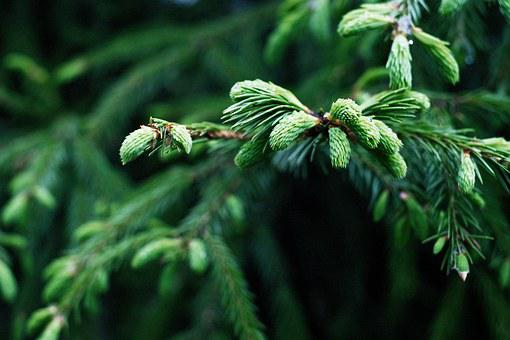 Spruce, Landscape, Nature, Tree, Trees, Plant, Cones