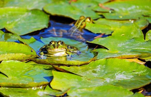 Frog, Water Frog, Frog Pond, Amphibian, Animal