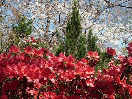 Azalea, Red, Bloom, Spring, Flower, Nature, Dogwood