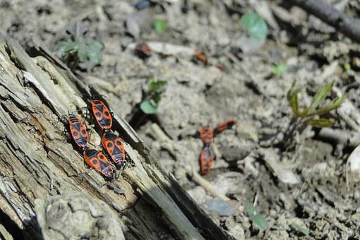 Fire Bug, Beetle, Insect, Nature, Animal World, Spring