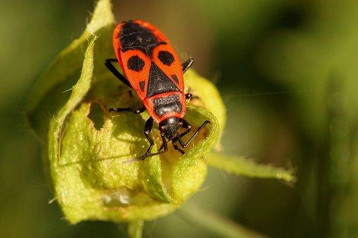 Beetle, Bug, Fire Bug, Insect, Insect Macro, Animal