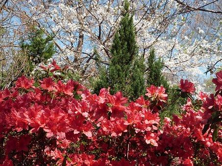 Azalea, Red, Bloom, Spring, Flower, Nature, Dogwood
