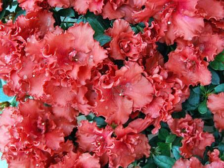 Flowers, Azalea, Vase Of Flowers, Petals, Red