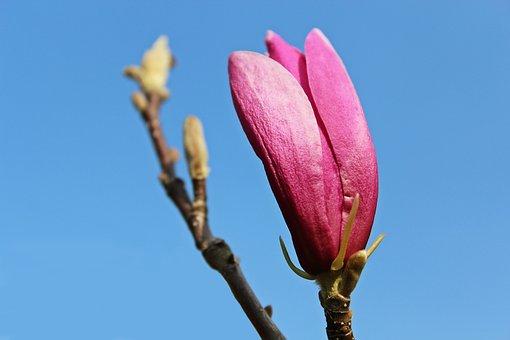 Magnolia, Magnolia Tree, Magnolia Blossom, Blossom