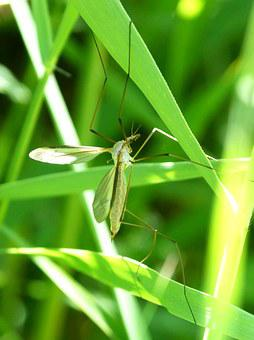 Mosquito, Leaves, Anopheles, Sting, Annoying Bug