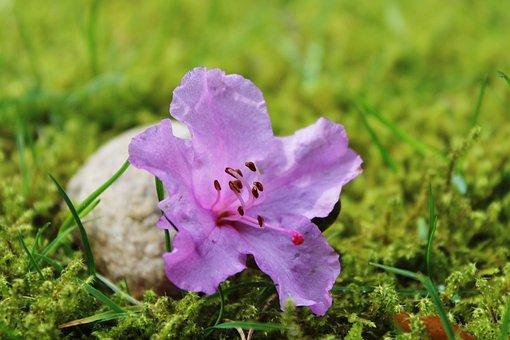 Azalea, Blossom, Bloom, Purple, Pink, Purple Flower
