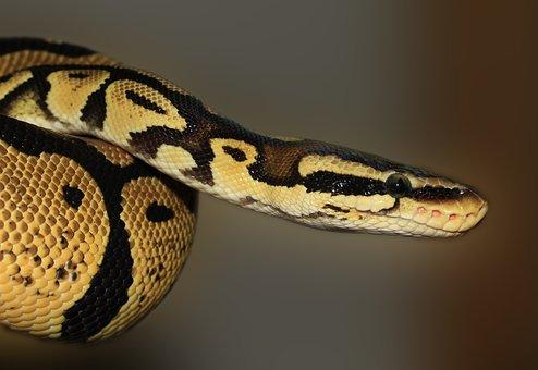 Snake, Ball Python, Python Regius, Beauty, Golden