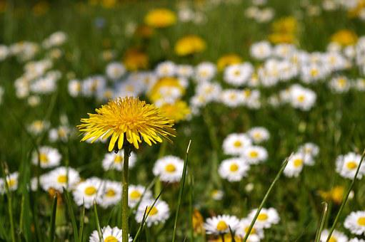 Spring Meadow, Meadow, Spring, Flowers, Flower Meadow