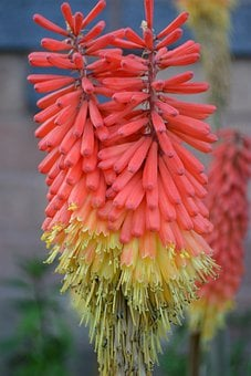 Kniphofia, Red-hot Polka, Twin Flower, Tritoma