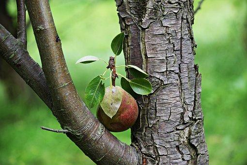 Pear, Fruit, Tree, A Single Piece Of Fruit, Nature