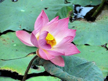 Lotus, Pink, Pink Flower, Buddhism