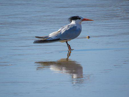 Royal Tern, Ocean, Bird, Californian Bird