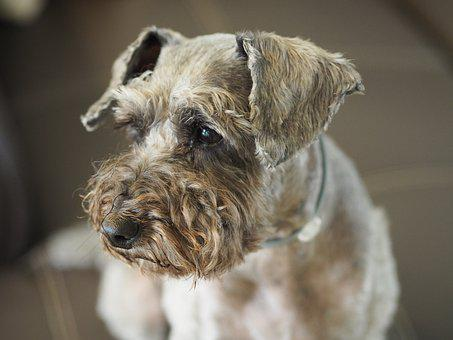 Breed, Dog, Portrait, Pets, Seat, Chanao Sir Poodle