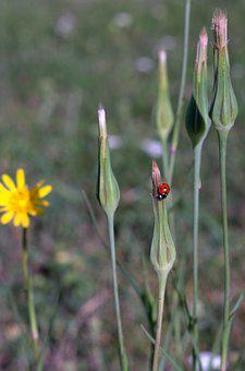 Dandelion Field, Ladybug, Yellow Flower, Meadow, Plant