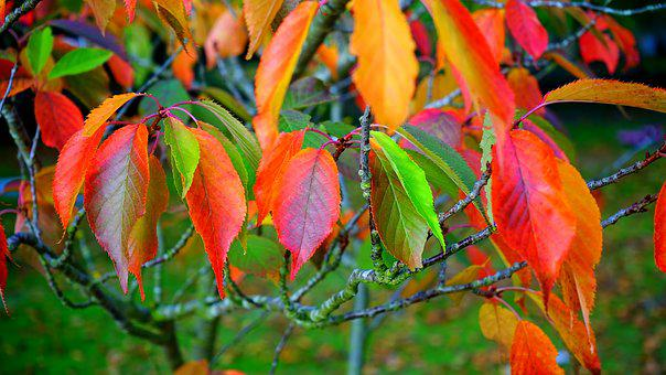 Leaves, Red, Autumn, Fall, Leaf, Season, Plant, Maple