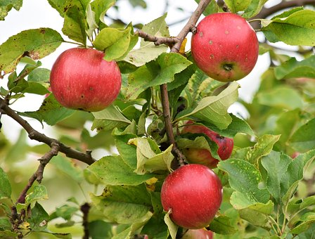 Apple, Apples, Fruit, Tree, Sad, Fiber, Food, Nature