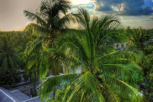 Coconut Tree, Tree, Green, Green Tree, Coconut, Nature