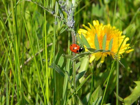 Dandelion, Ladybug, Aphid, Flower, Summer, Nature