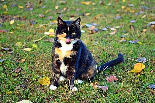 Cat, Mieze, Lucky Cat, Kitten, Three Coloured