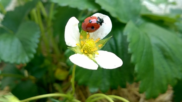 Ladybug, Strawberry, Green, Insect, Macro, Garden