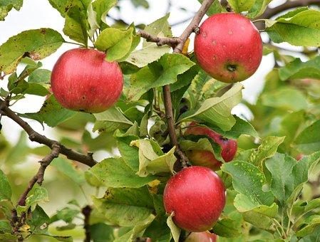 Apple, Apples, Fruit, Tree, Sad, Fiber, Food, Nature