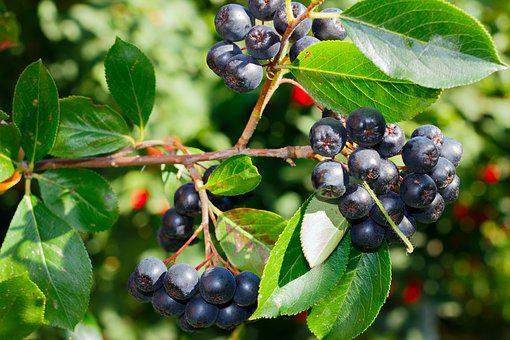 Black Rowan, Rowan, Black, Berry, Nature, Summer, Fruit