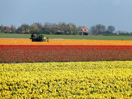 Tulips, Holland, Bulbs, Spring, Bulb Fields, Yellow