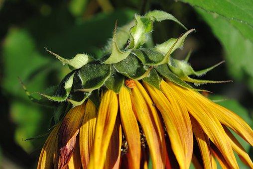 Sunflower, Yellow, Sun, Orange, Ladybug, Flower, Garden