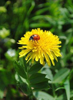 Dandelion, Yellow, Ladybug, Ladybird, Spring, Flower