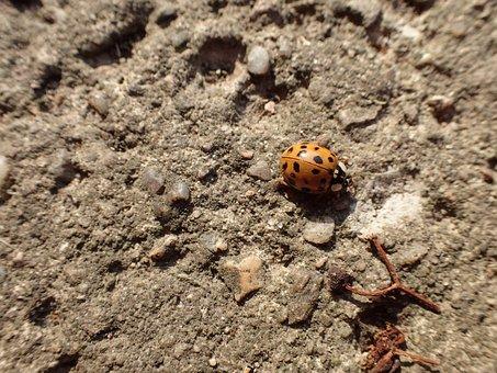 Ladybug, Beetle, Yellow, Insect