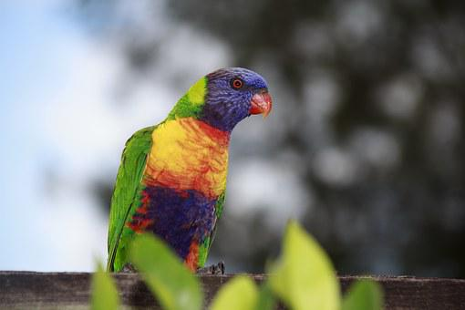Australia, Natural, Bird, Parrot, Green, Red, Yellow