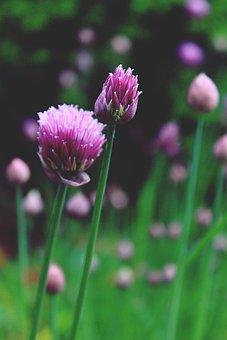 Allium Schoenoprasum, Chives, Blossom, Bloom, Pink