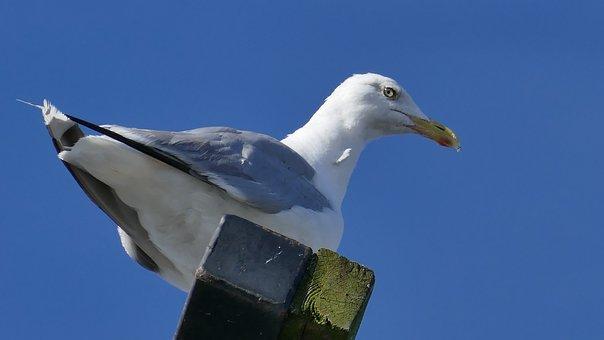 Seagull, Animal, Bird, Port, Nature, Water Bird