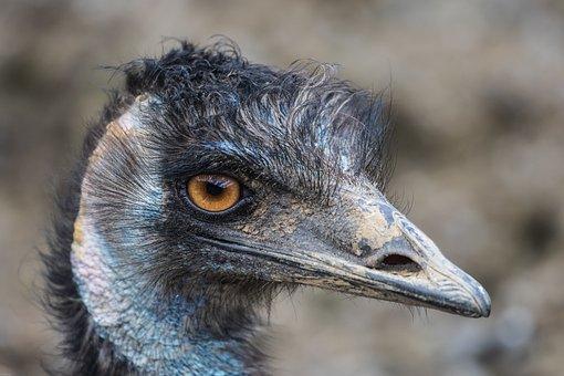 Emu, Flightless Bird, Large Emu, Close, Animal, Bill