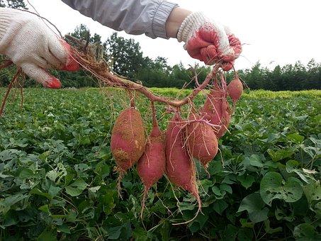 Sweet Potato, Garden Plot Thu, Harvest