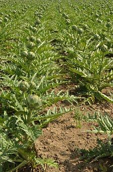 Artichoke, Vegetable, Crop, Cultivation, Remodeling