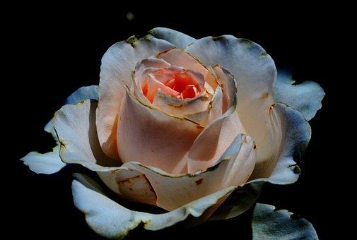 Rose, Bloom, Bud, Flower, White, Deep Pink Tint