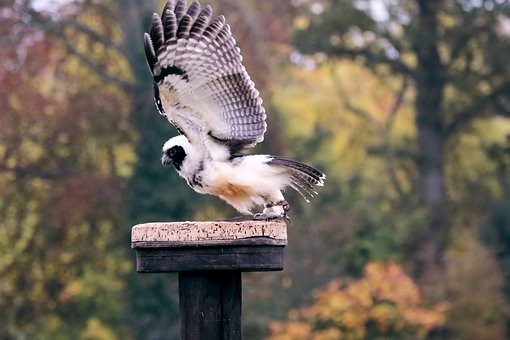 Spectacled Owl, Owl, Bird, Animal, Prey, Wildlife