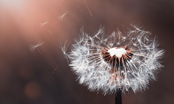 Dandelion, Flower, Nature, Close, Pointed Flower, Plant