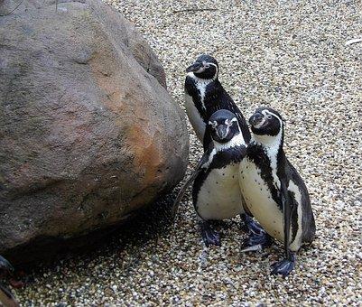 Penguins, Trio, Nature, Three, Animals, Wildlife, Group