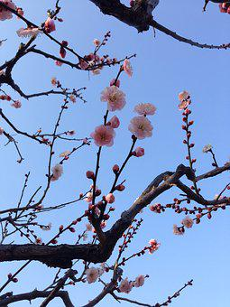 Plum Blossoms, Spring, Cherry, Branch, Wood, Sky