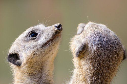 Meerkat, Fur, Small, Face, Mouth, Animal, Snout, Park