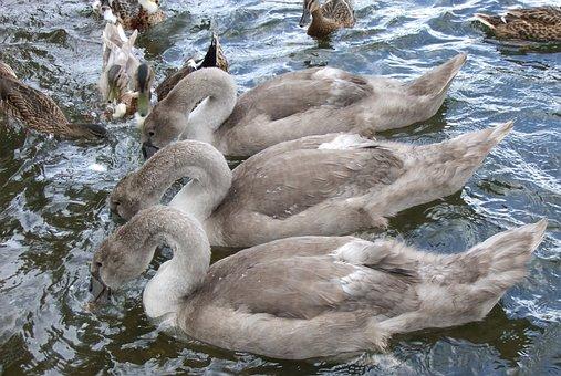 Swan, Signet, Lake, Three, Trio, Wild, Outdoors, Park