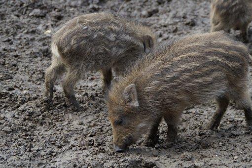 Little Pig, Wild Boars, Litter, Children, Young, Boy