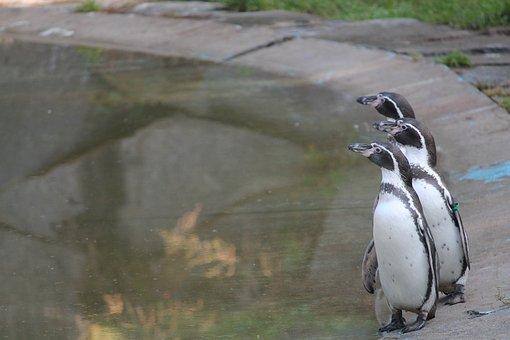 Penguins, Humboldt Penguins, Zoo, Trio
