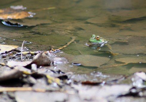 Frog, Toad, Marsh, Amphibian, Marsh Frog, Environment