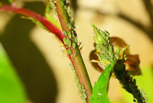 Greenfly, Aphid, Sap-sucking, Red-eyed, Insect
