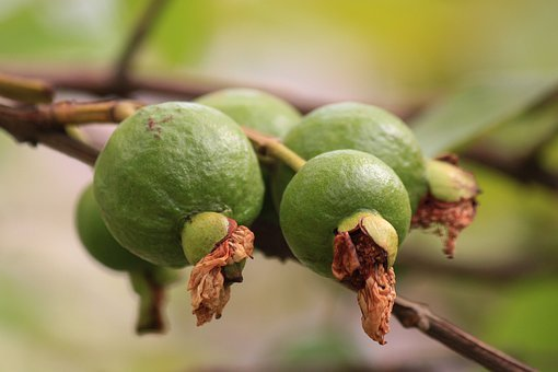 Guava, Green Fruit, Branch, Fruit, Tropical, Freshness